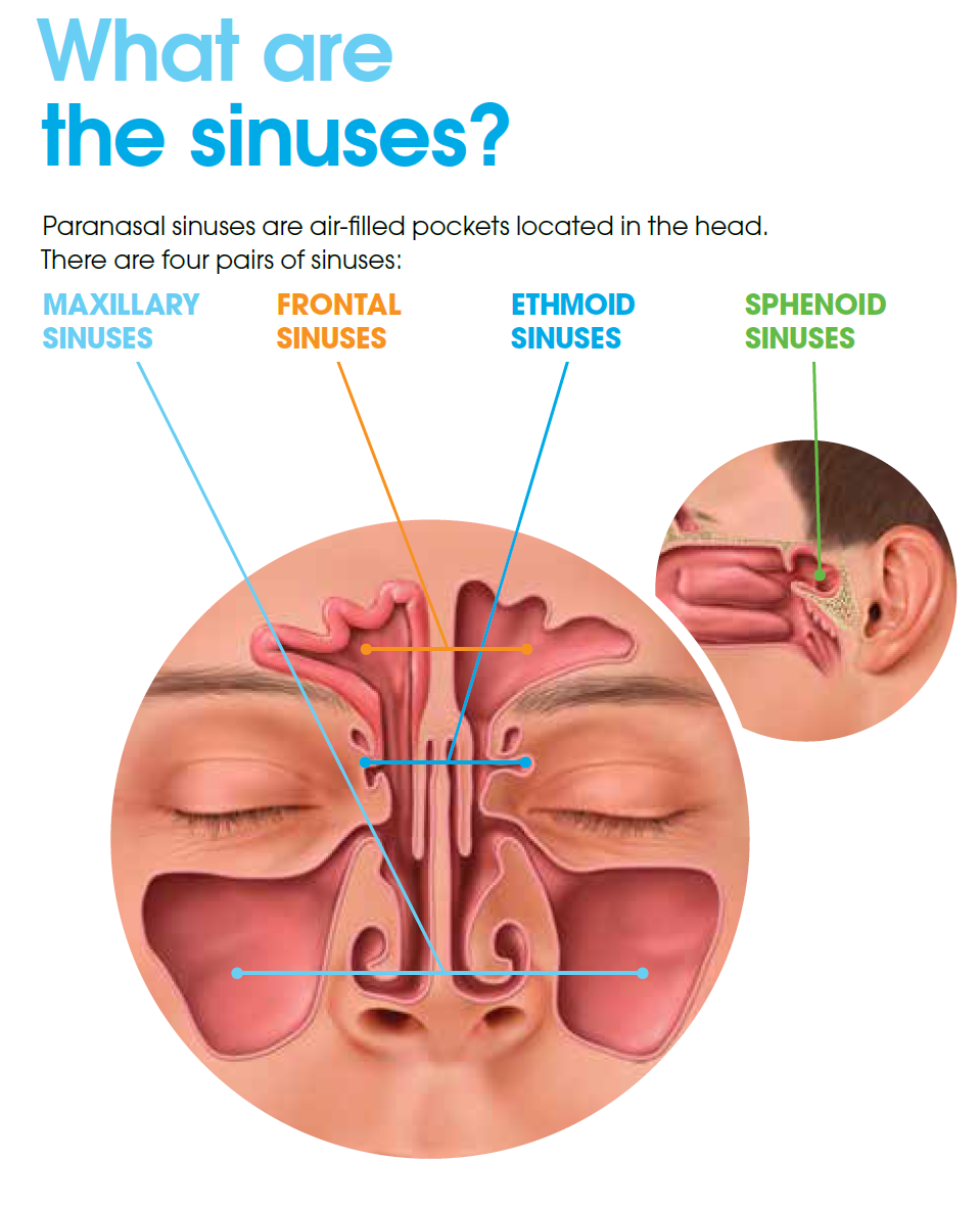 What are the sinuses